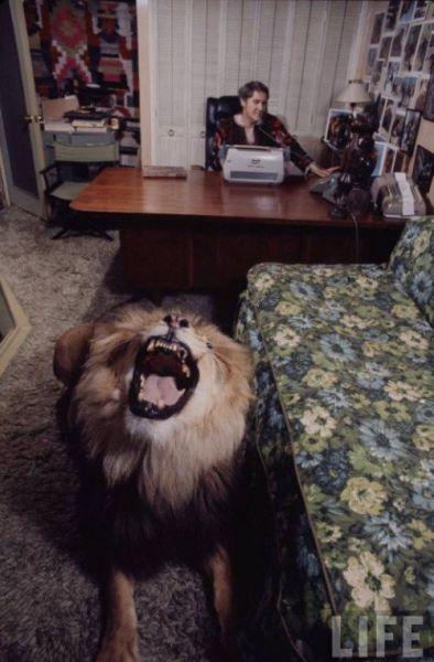 Домашний лев (17 фото)