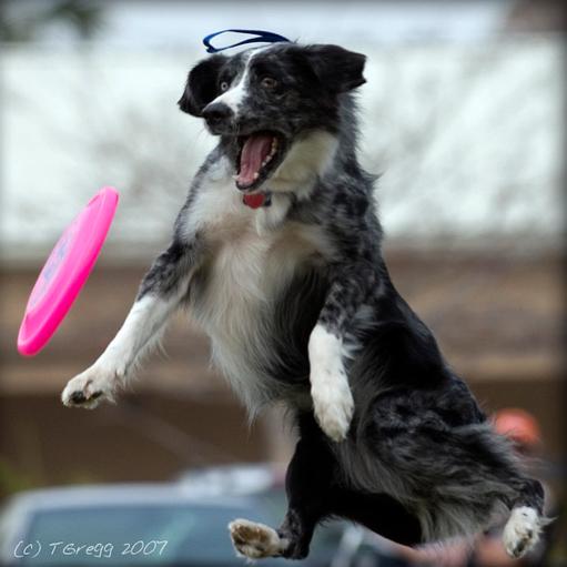 собака ловит тарелку на лету