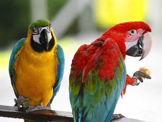 Попугаи дают имена своим детям...