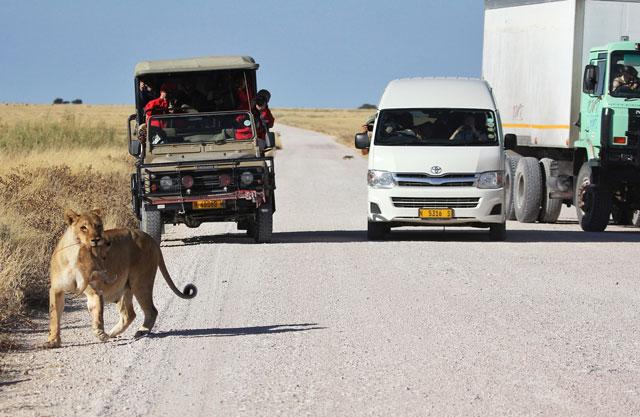 Блоги. Пропустите львенка! (8 фото + текст). про животных, трогательно, истории с животными, маленький львенок