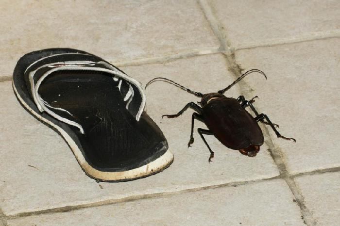 Блоги. Самый большой в мире жук (15 фото). жук, животные, самые большие насекомые