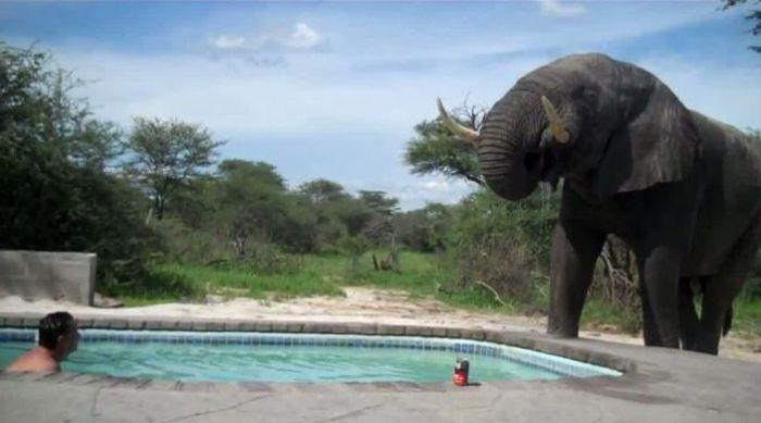 Блоги. Необычный гость (5 фото). необычный гость, слон, курьезы