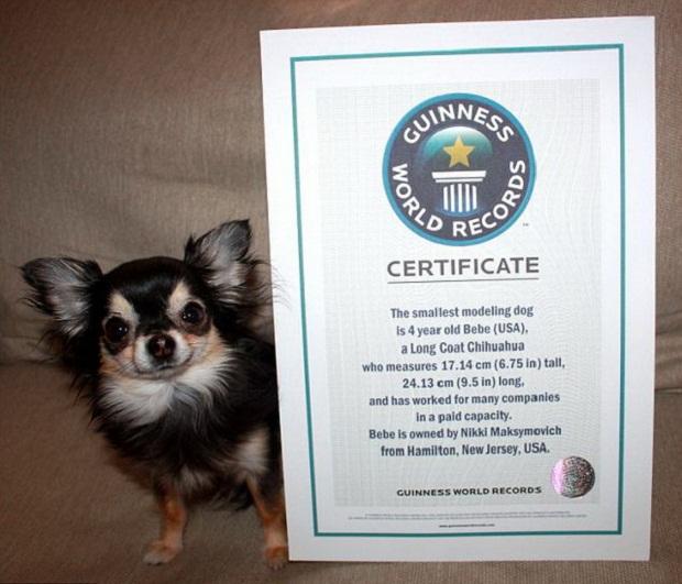 Блоги. Самой маленькой собакой в мире Книга рекордов Гиннеса названа чихуахуа. книга рекордов гиннеса, самая маленькая собачка, чихухуа