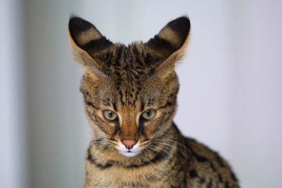5 самых удивительных пород животных, выведенных человеком