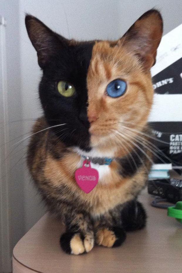 Блоги. Необычная двуликая кошка-химера стала звездой Интернета (7 фото + видео). кошка, двуликая, звезда, интернета, венера, няша ^^