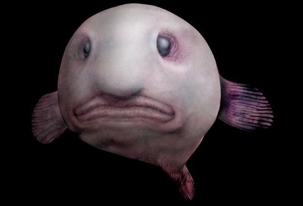 Рыба-капля: Самая печальная рыба на Земле (8 фото + текст). рыба-капля, рыбы, вода, океан, самая печальная рыба