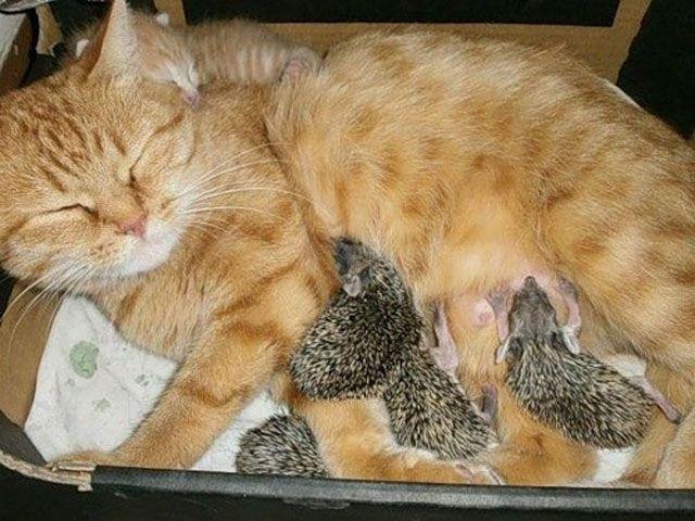 Блоги. Необычная семейка (17 фото). удивительно, необычно, ежики, кошка