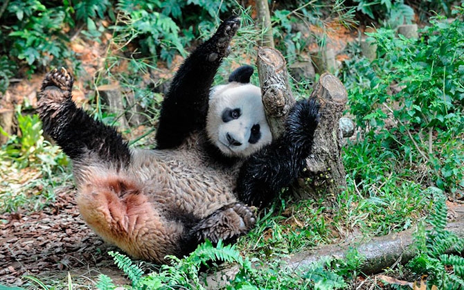 laws on the giant panda