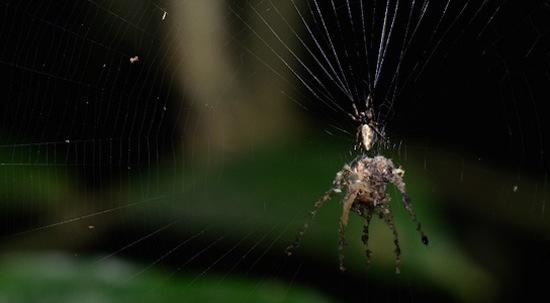 Существует паук, умеющий создавать собственную копию (2 фото + текст)