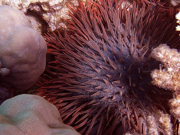Единственная ядовитая морская звезда (10 фото)