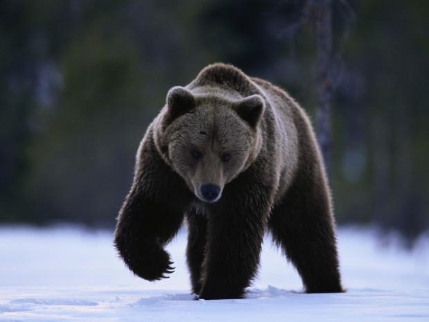 10 самых любопытных видео фактов о медведях