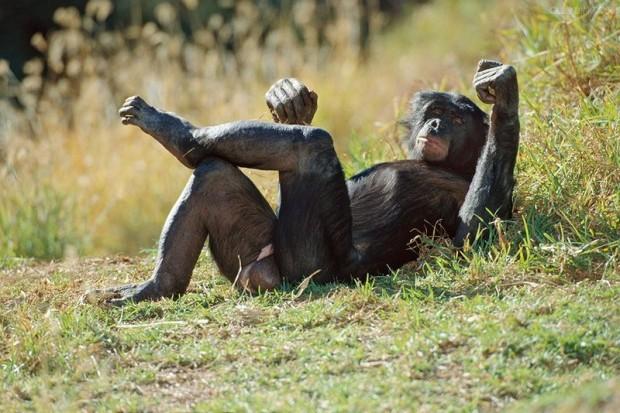 Бонобо занимаются сексом как люди