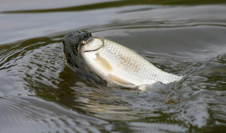 Змеи-рыболовы (14 фото)