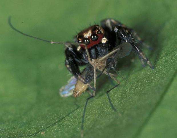 Паук-вампир охотится на комаров, напившихся крови