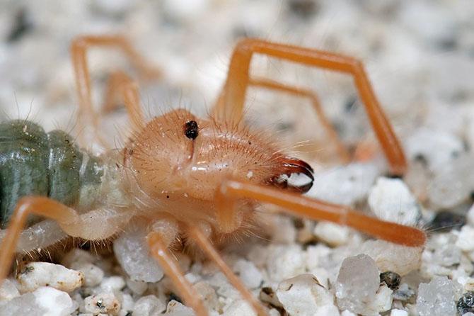 Фаланга – монстр из класса паукообразных