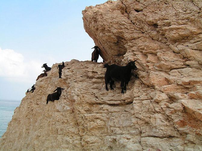 Козы, которым не ведома боязнь высоты