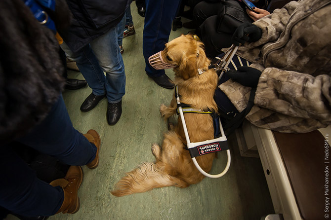 Золотые собаки