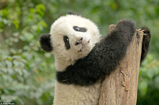 Как научить панду лазать по деревьям