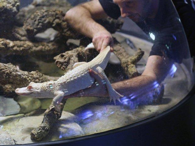 Альбиносы аллигаторы в Тропическом аквариуме Парижа