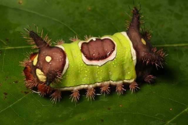 Гусеницы, которые могут убить (26 фото+видео)