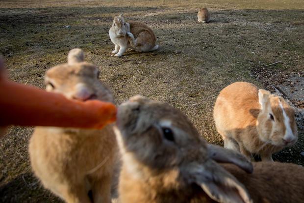 Японский остров кроликов