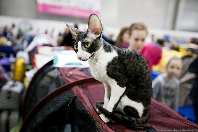 Международная выставка кошек Кэтсбург 2014
