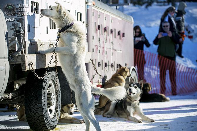 Самая престижная гонка на собачьих упряжках Идитарод-2014