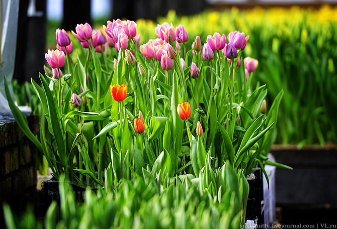 Как выращивают тюльпаны в пригороде Владивостока