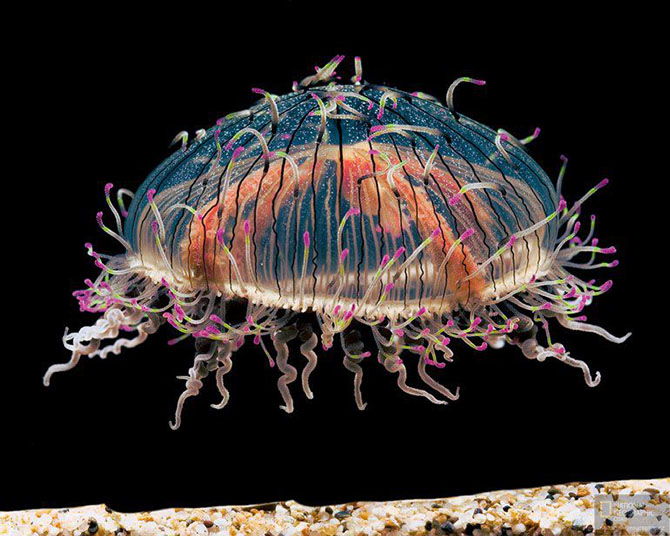 Самые красивые медузы в мире