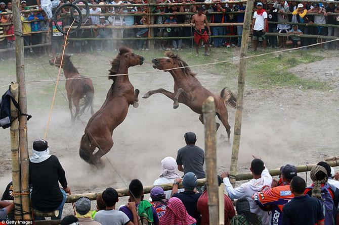 Запрещенные лошадиные бои