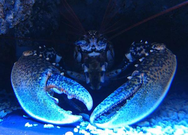 Альфа-омар каждую ночь избивает остальных омаров