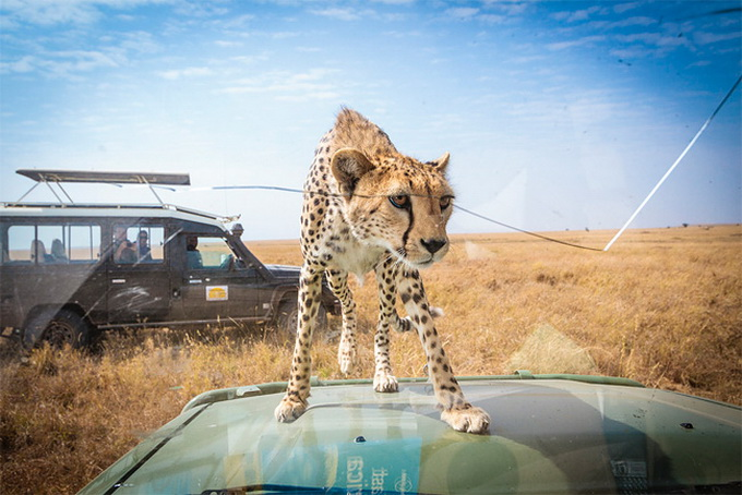 Встреча с гепардом в Танзании