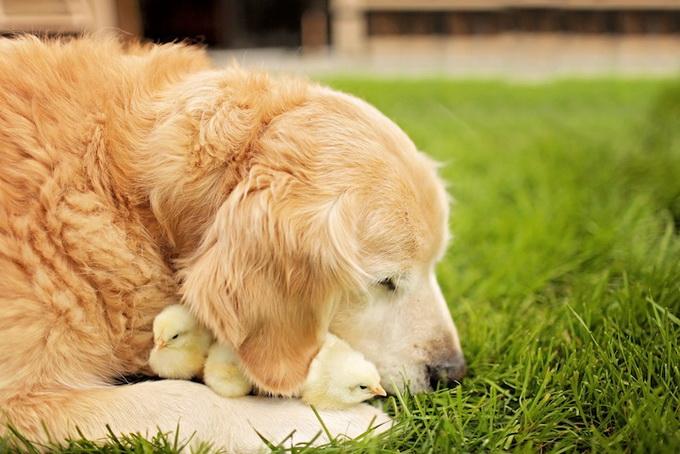 Собака и цыплята - лучшие друзья