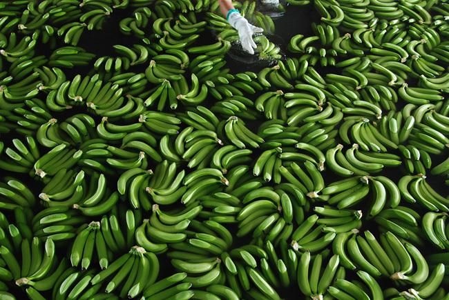 Как выращивают и собирают бананы