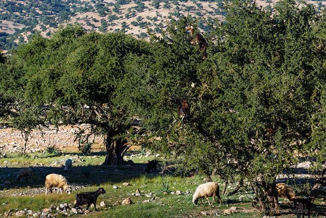 Бутафорский Голливуд и козы на деревьях