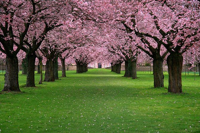 Как в Японии цветет сакура