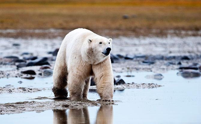 Где живут белые медведи
