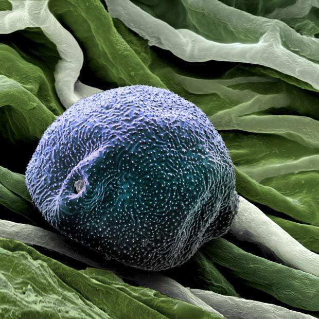 Частицы пыльцы и пыли под электронным микроскопом