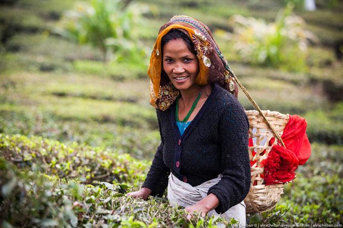 Как собирали первый в этом году урожай чая