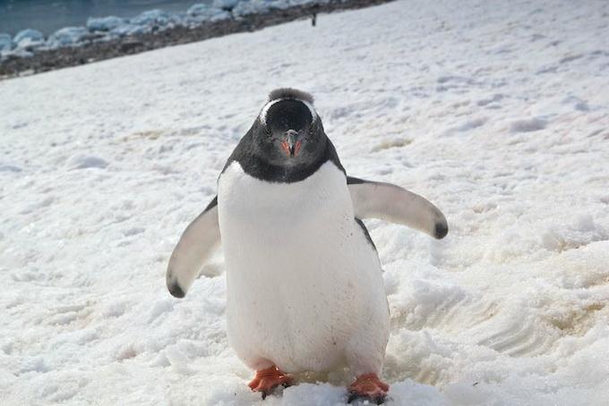 Пингвин в Антарктиде