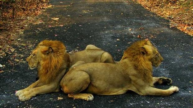 В центре города Мумбаи свободно гуляют хищные звери