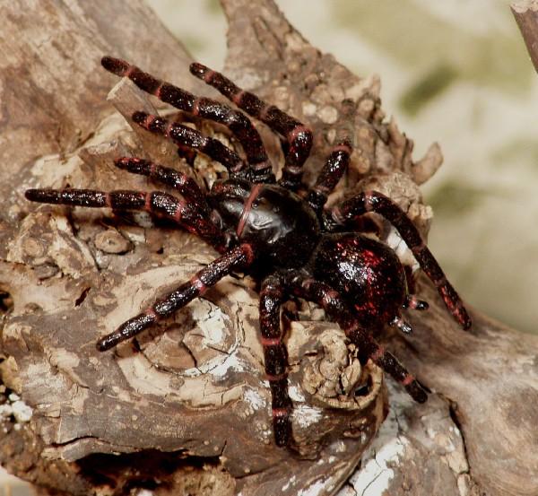Atrax robustus — один из немногих видов пауков, которые могут причинить серьёзный вред здоровью человека, вплоть до летального исхода