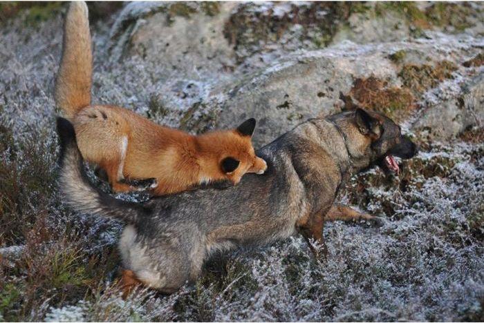Необычные друзья: дикая лиса и собака (10 фото)