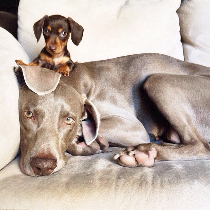 Собаки Харлоу и Инди