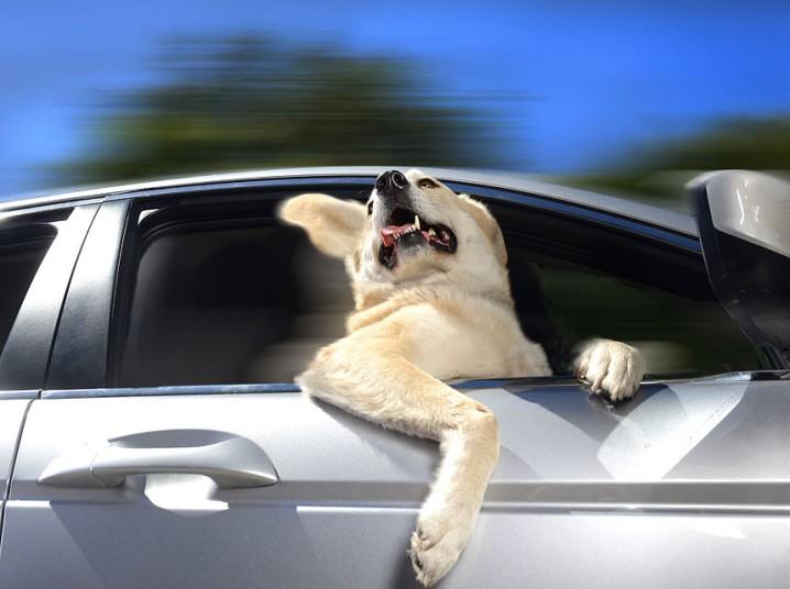 Восторженные собаки выглядывают из автомобильных окон
