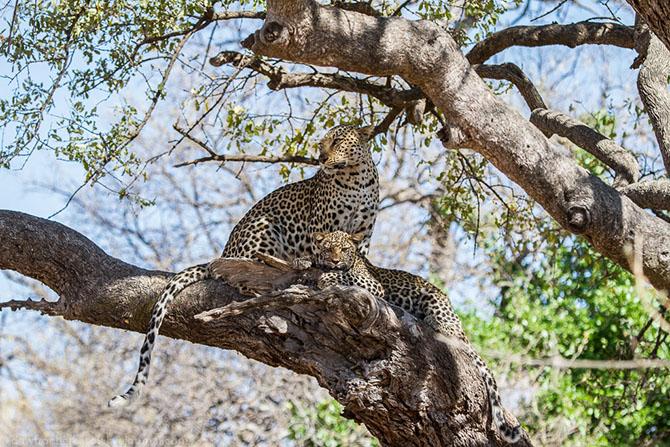 Жизнь африканских леопардов