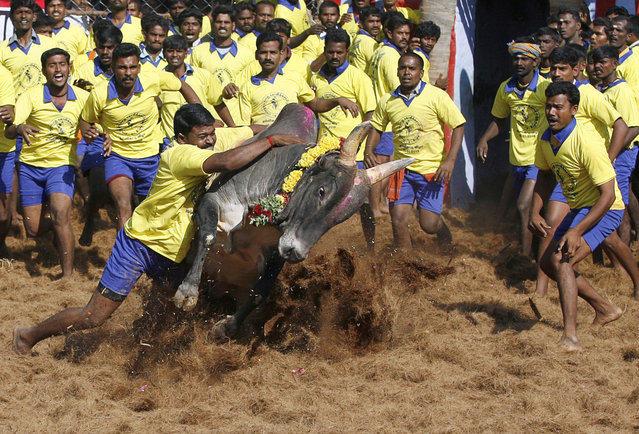 Джалликатту – спорт по укрощению быков