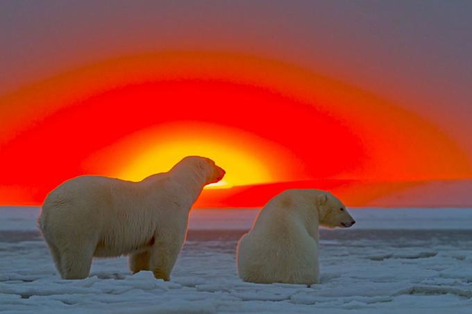 Белые медведи на закате