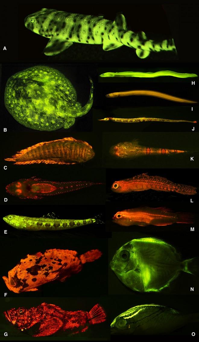 Светящиеся рыбы: такие разные и такие удивительные
