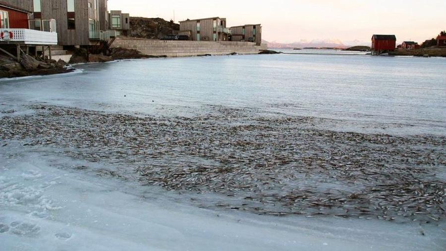 Тонны замороженной сельди у норвежских берегов